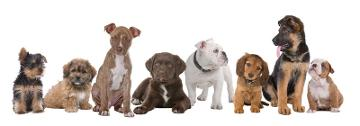 Pure Dog Breeders Online