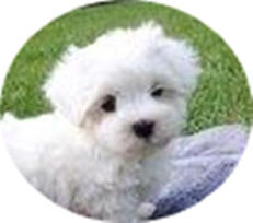 Maltese Puppies For Sale Circle L Farms