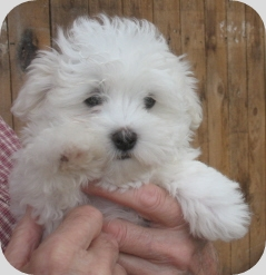 Maltese Puppy Circle L Farms