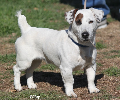 Adult shortie puddin jack russell