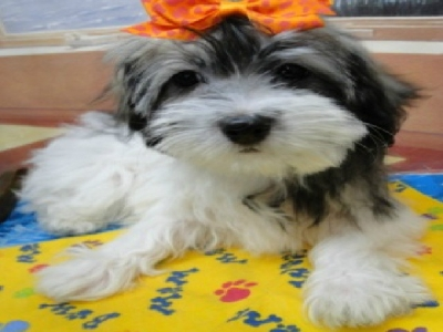 Havanese Puppies For Sale Jaco Kennel