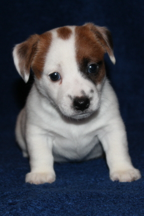 Highland Glen Russell Terrier Puppies For Sale