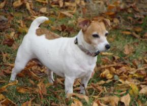 Russell Terriers For Sale Arkansas