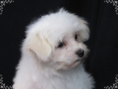 Maltese Puppies Greenville SC