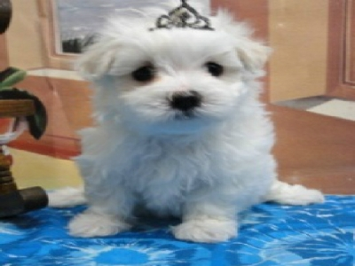 Maltese puppies Jaco Kennel