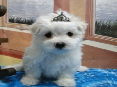 Maltese Puppies For Sale Jaco Kennel