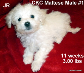 Maltese Puppies For Sale Kentucky