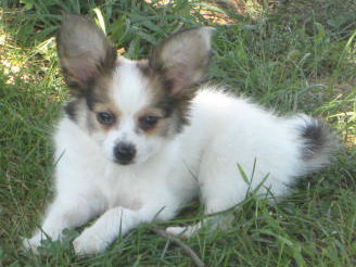 Papillon Puppies For Sale In Missouri