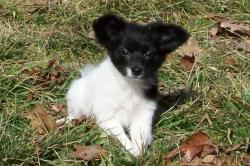 Papillon Puppies Missouri
