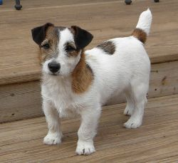 Shorty Jack Russell Terriers