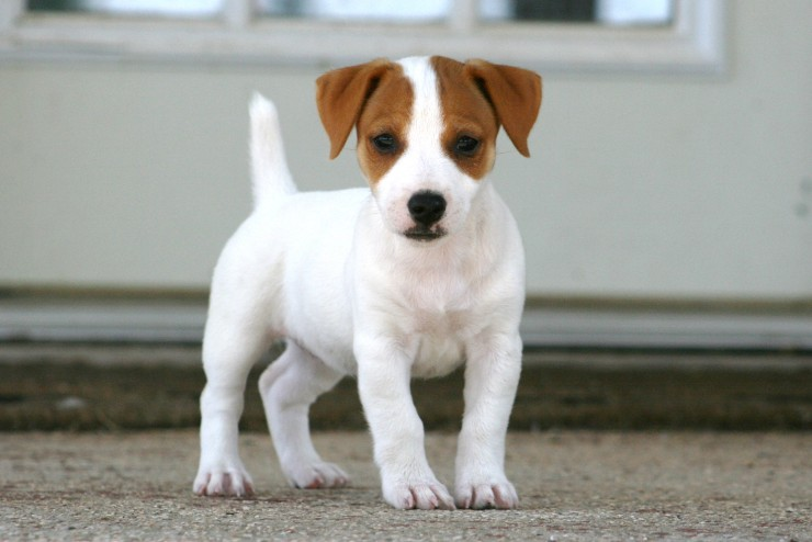 Short Jack Russell Terrier Breeders   Shorty Jack Puppies ...